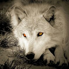 Solitary wolf...