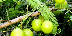 Growing Indian gooseberry tree in a container, How to grow Amla from seed, Propagation of Amla. Harvesting of Amla, Amla is a very popular medicinal plant. Gooseberry Plant, Growing Succulents, Growing Plants, How To Grow Gooseberries, Air Layering, Growing Blueberries, Garden Insects, Soil Ph