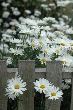 daisies through the fence