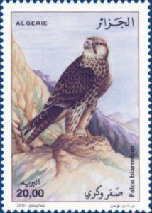 Lanier Falcon (Falco biarmicus)