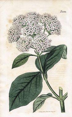 Lovely Antique Botanical Graphic - Viburnum - The Graphics Fairy