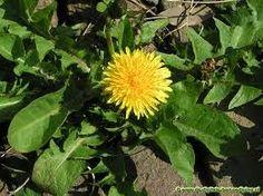 Lever moet hard werken. Een gereinigde lever geeft weer energie Veel planten bezitten de eigenschap dat ze de lever reinigen, ontgiftigen en beschermen. Een schone lever geeft een goed humeu…