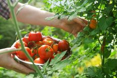 Can't Determine Between Determinate and Indeterminate Tomatoes?