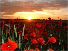 Poppy field in Panevezys, Lithuania. Lietuva