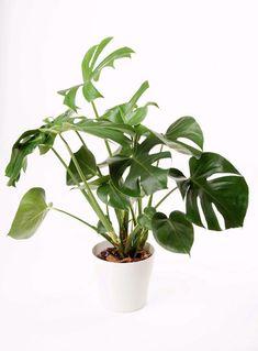 Your Apartment Needs These Indoor Plants #aloeveraplantindoor Best Indoor Plants, Indoor Plant Pots, Indoor Garden, Pot Plants, Architectural Digest, House Plants Decor, Plant Decor, Deco Miami, Cheese Plant