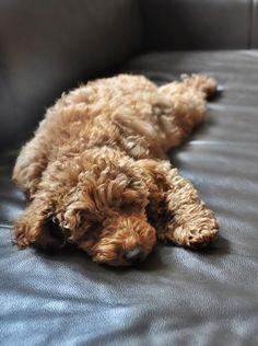 Poodle miniature, apricot, puppy,Nico,3.5 months https://www.facebook.com/niconki/ #poodlepuppy