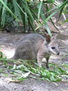 Wildlife Wednesday: Update on the Wallaby Joey at Disney's Animal Kingdom– 'It's a boy!'