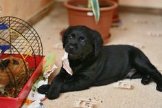 How To Stop A Puppy From Biting And Chewing (5 EASY STEPS), Repin if you got value http://www.petnatics.com/how-to-stop-a-puppy-from-biting-and-chewing/