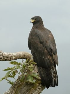 Black Eagle (Ictinaetus malayensis) They soar over forests in the hilly regions of tropical Asia and hunt mammals and birds, particularly at their nests. The Eagles, Types Of Eagles, Stuffed Animals, Beautiful Birds, Animals Beautiful, Sri Lanka, Black Eagle, Golden Eagle, National Animal