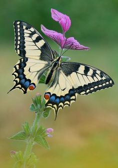 ♥ Swallowtail ♥ they're all over the place right now and so pretty.