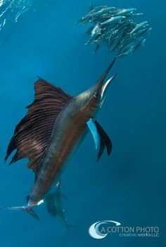 The sailfish is the fastest fish in the ocean. With ...