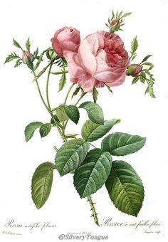 Rosa centifolia foliacea by Pierre-Joseph Redoute.