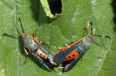 Squash Borer Moths -- Garden Insect Identification!