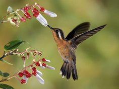 Hummingbird in nature. Tier Wallpaper, Animal Wallpaper, Beautiful Birds, Animals Beautiful, Hummingbird Wallpaper, Hummingbird Pictures, Hummingbird Wings, Hd Nature Wallpapers, Desktop Backgrounds