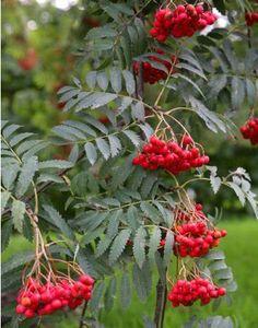 Sorbus aucuparia (Gewone Lijsterbes), transparante makkelijke boom, ideaal voor vogels, geel oranje herfstkleur (10-15m)