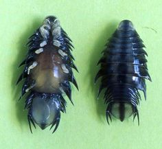 spoookyscary: Nerocila acuminata is a parasitic isopod related to Cymothoa exigua, the infamous tongue-replacer. This isopod clings onto th. Ocean Creatures, Weird Creatures, Kids Headbands, Buzzfeed Animals, Young Animal, Beautiful Bugs, Bugs And Insects, Cute Funny Animals, Amphibians