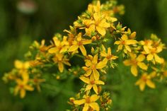 HOW TO MAKE ST. JOHN'S WORT OIL AND SKIN SERUM-LEARNING HERBS.