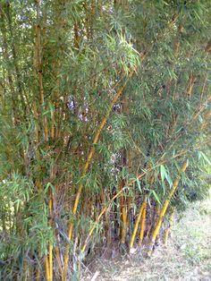 Bambuzal Amarelo