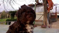 Un cucciolo di Lagotto Romagnolo. Un mese