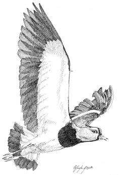 El Tero (Vanellus chilensis) es un ave que habita en Sudamérica, también llamado alcaraván o queltehue. Cuando su nido es amenazado, se lanza en vuelo rasante cerca del intruso, con las alas extendidas exponiendo unos espolones óseos a manera de ataque
