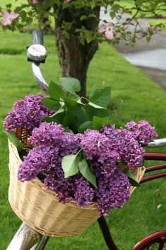 Purple lilac's in a bicycle basket.  Beautiful.