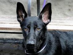 SHAI is an adoptable German Shepherd Dog Dog in New York, NY. A volunteer writes: A black beauty.... This is what Shai is, totally unmissable, sitting straight like a tower in the middle of her kennel...