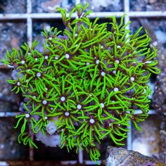 Neon Green Star PolypsGreen Star Polyps  also called Daisy or Starburst Polyp Coral  are  . Green Star Polyp Lighting Requirements. Home Design Ideas