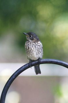 Baby Female Bluebird