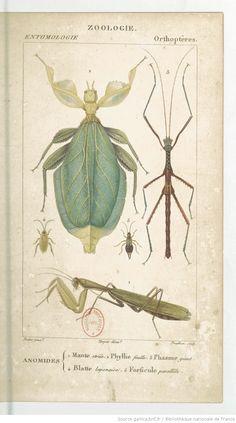 Items similar to Vintage Insect Print. Praying Mantis Diagram Chart Scientific Diagram Poster French Entomology - on Etsy Antique Frames, Antique Prints, Scientific Drawing, Illustration Botanique, Science Illustration, Nature Illustrations, Bug Art, Insect Art, Nature Prints