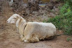 செம்மறி ஆடு வளர்ப்பும் பயன்களும் | பண்ணையார் தோட்டம் Blog Images, Firefighter, Sheep, Goats, Animals, Animales, Animaux, Fire Fighters, Animal