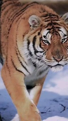 Beautiful Nature Scenes, Beautiful Cats, Animals Beautiful, Cute Baby Animals, Animals And Pets, Big Cats, Cute Cats, Tiger Video, Tiger Photography