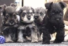 schnauzer puppies ~ i love them <3