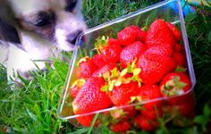 Dogs enjoy the sweetness of fruit. Some fruits, including grapes and raisins, are toxic for dogs. Fruits with stones or. Can Dogs Eat Strawberries, Pet Treats, Raisin, Beans, Strawberry, Stones, Fruit, Sweet, Food