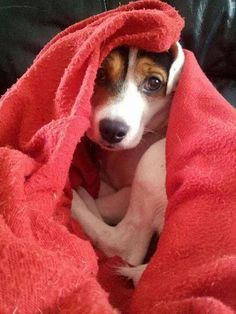 My grand dog Sammy is a Jack Russell.  He loves to sleep under blankets, fetch tennis balls and snuggle with us.  He is part of our family.  Love him.
