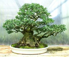Specimen Bonsai Tree Taiwan Hackberry