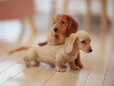 Long Haired English Cream and Red Dachshund Puppies!!!!! <3 <3 <3