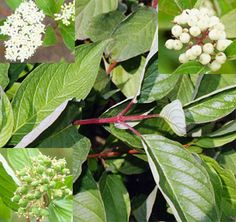 | Drieň biely - aj do nekvalitných pôd | Cornus alba