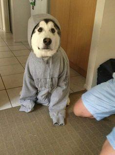 Husky in hoodie #dog