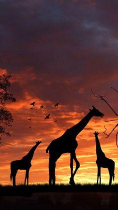 !!TAP AND GET THE FREE APP! Animals Nature Giraffes Silhouette Evening Sky Sunset Amazing Savanna HD iPhone 5 Wallpaper