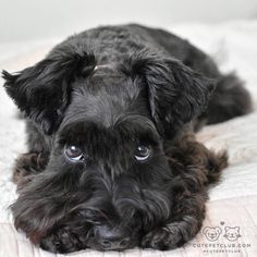 "Explore our website for more info on ""schnauzer puppies"". It is actually an excellent spot to learn more. Schnauzer Noir, Black Schnauzer, Mini Schnauzer Puppies, Giant Schnauzer, Scottish Terrier, Cute Animal Pictures, Puppy Pictures, Baby Dogs, Pet Dogs"