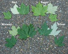 Trees And Shrubs, Trees To Plant, Tree Leaves, Plant Leaves, Tree Leaf Identification, Types Of Pine Trees, Sugaring, Unique Trees, Maple Tree