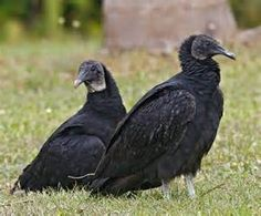 vulture facts - Bing images