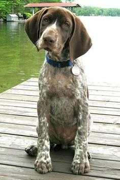 Look at those paws.. I <3 him.. German Shorthaired Pointer