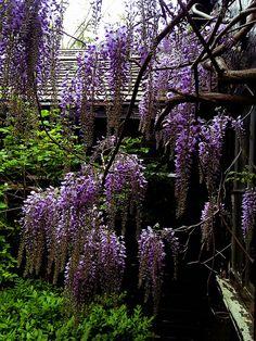 wisteria by Marilynb