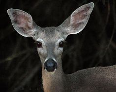 Nature Photography deer photo wildlife photograph by MurrayBolesta