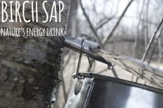 There are so many benefits of Birch Sap aka nature's energy drink. Who knew?