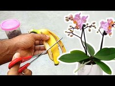 Gardens Discover Banana peel - best fertilizer for orchids to bloom Planting Seeds Outdoors Air Plants Garden Plants Banana Peel Uses Orchid Pot Compost Orchids Ikebana Flora Orchids In Water, Indoor Orchids, Orchids Garden, Garden Plants, House Plants, Flowers Garden, Indoor Plants, Air Plants, Potted Plants