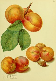 1. Apricot, St. Ambroise 2. Apricot, Montgamet 3. Apricot, Early Golden