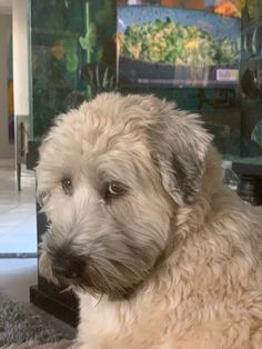 """""""Why do you blame me for everything""""? Labradoodles, Goldendoodles, Havanese, Cute Dogs Breeds, Dog Breeds, Whoodle Dog, Wheaten Terrier Puppy, Cute Puppies, Dogs And Puppies"""