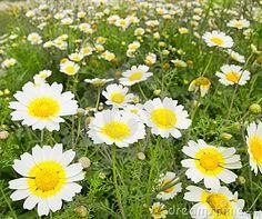 Prado amarillo y blanco del campo de flores del resorte de la margarita